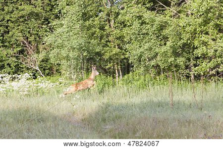 Roebuck In Forest