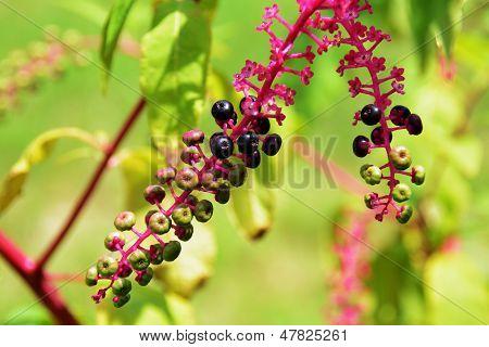 Poke Salad Berries
