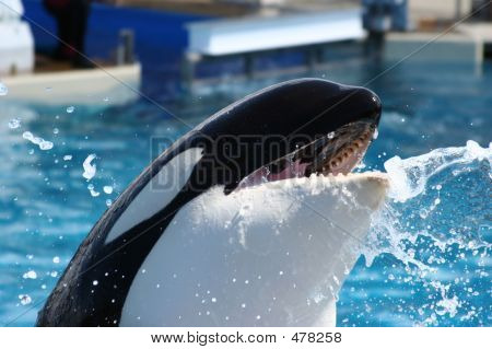 Orca Whale Mouth