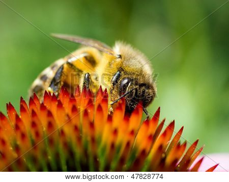 Bee on echinacea flower.