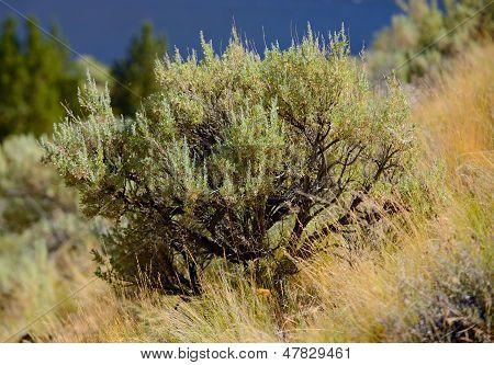 Beautiful Sage Brush Plant In Nature