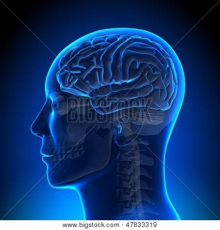 Brain Anatomy - Brain Blue Blank