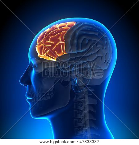 Brain Anatomy - Frontal lobe