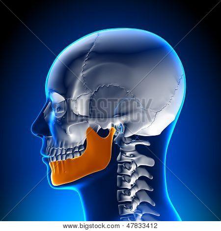 Brain Anatomy - Mandible