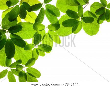 Akebia Leaves