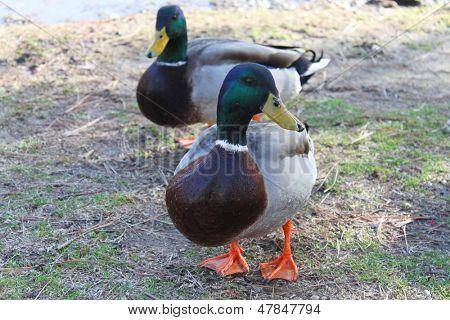 Male ducks