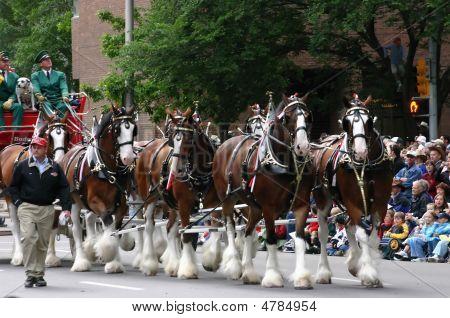 Clydesdale caballos tirando del carro