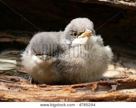 Butche birds