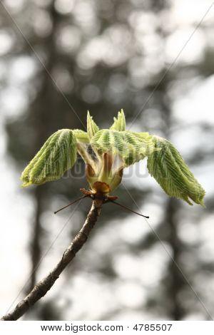 Chestnut Open Bud In Spring