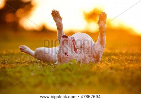 happy english bull terrier dog lying upside down