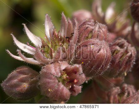 Common houseleek flower