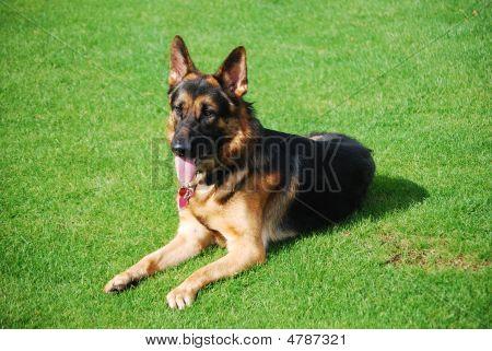 German Shepherd Dog On Lawn