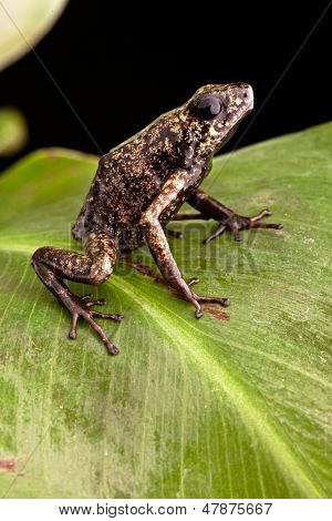 poison arrow frog Peruvian tropical Amazon Rain forest beautiful amphibian and poisonous animal from the jungle in Peru Oophaga sylvatica