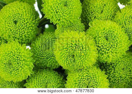 Beautiful green chrysanthemum close-up