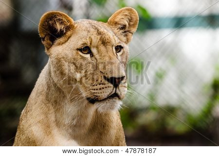 Portrait of African lioness lion (Panthera leo)