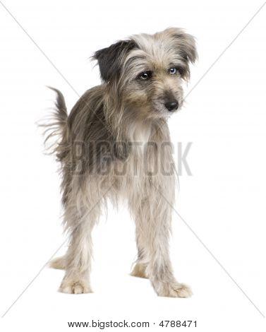 Pyrenean Shepherd (1 Year)