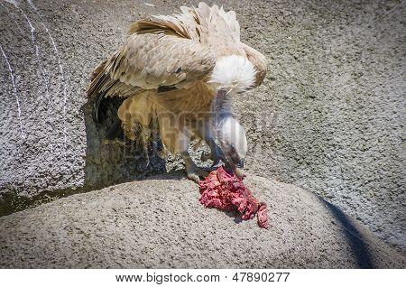 Vulture (Gyps fulvus)