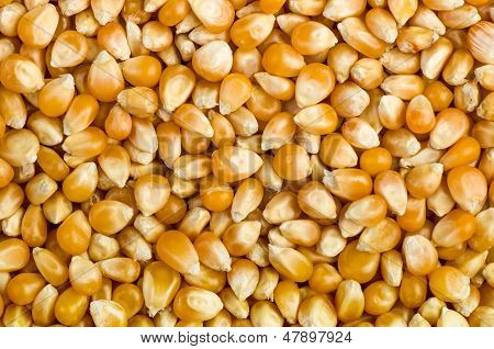 Background of corn grains