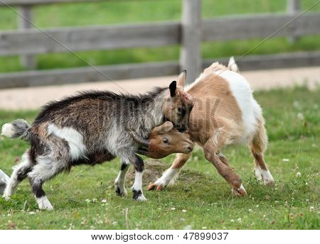Playing Young Goats