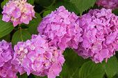 foto of hydrangea  - pink hydrangea plant with flowers close up - JPG