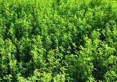 stock photo of alfalfa  - Lucerne  - JPG