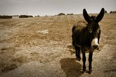 picture of headstrong  - Donkey in the farm in sepia color - JPG