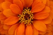 stock photo of extreme close-up  - Extreme close up shot of orange  zinnia flower - JPG