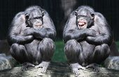 image of rainforest animal  - Two chimpanzees have a fun - JPG