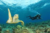 stock photo of hawksbill turtle  - Hawksbill Sea Turtle and Scuba diver - JPG
