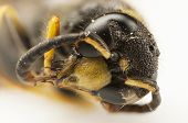 foto of hornet  - Portrait of a wasp or hornet head - JPG