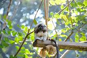 stock photo of marmosets  - marmosets and tamarins the smallest monkeys in the world - JPG