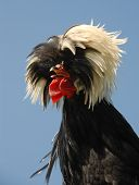 Polish Crested Chicken poster