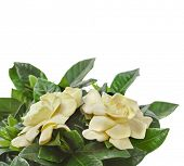 image of gardenia  - gardenia plant close up isolated on white background - JPG
