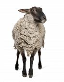 stock photo of suffolk sheep  - Suffolk sheep  - JPG
