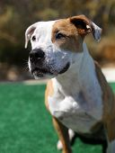 foto of pitbull  - Head shot portrait of a red and white pitbull dog waiting to play - JPG