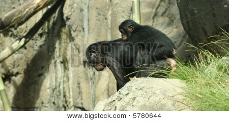 A bonobo piggyback