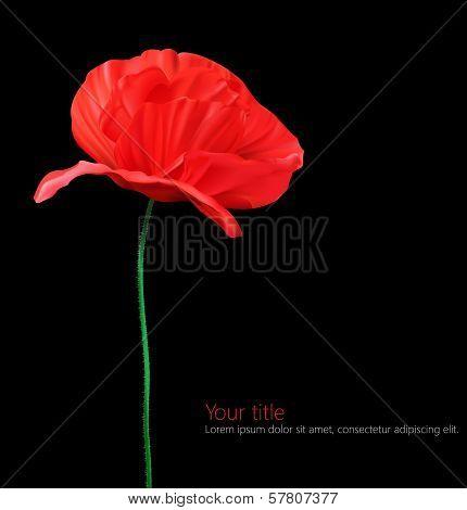 Poppy flower isolated on black background.