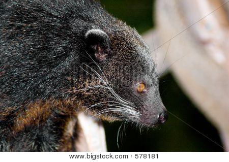 Binturong Closeup
