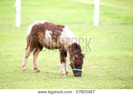 Horse Eating Food Greensward