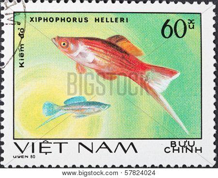 Xiphophorus Helleri - Green Swordtail Fish