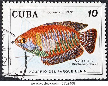 Colisa Lalia (dwarf Gourami ) - South Asian Fish