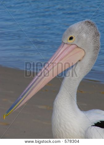 Pelican Upper Body Shot