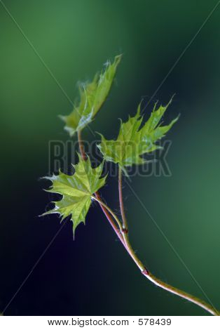 Small Leaves Of A Maple - 2