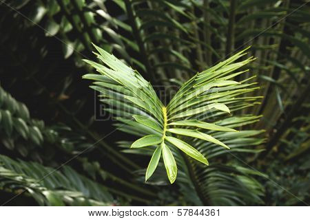 Closeup Of Green And Yellow Leaf Of Cycad Plant
