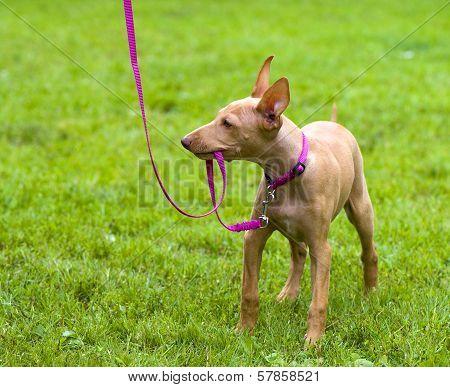 Cirneco Dell'Etna, Sicilian Hound puppy