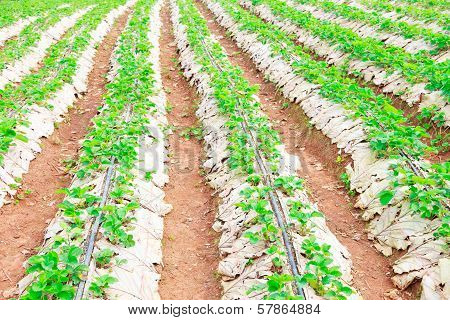Plant Strawberry At Chiangmai Thailand
