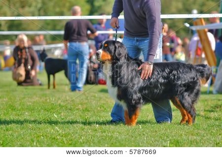 Bernese Mountain Dog With It's Handler