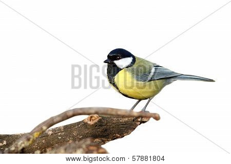 Isolated Great Tit With Place For Text