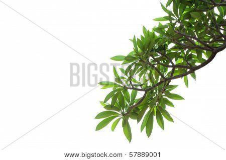 Frangipani Leaf Background.