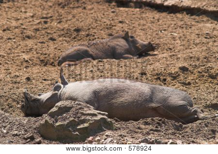 Happy Pigs Sleeping In Mud